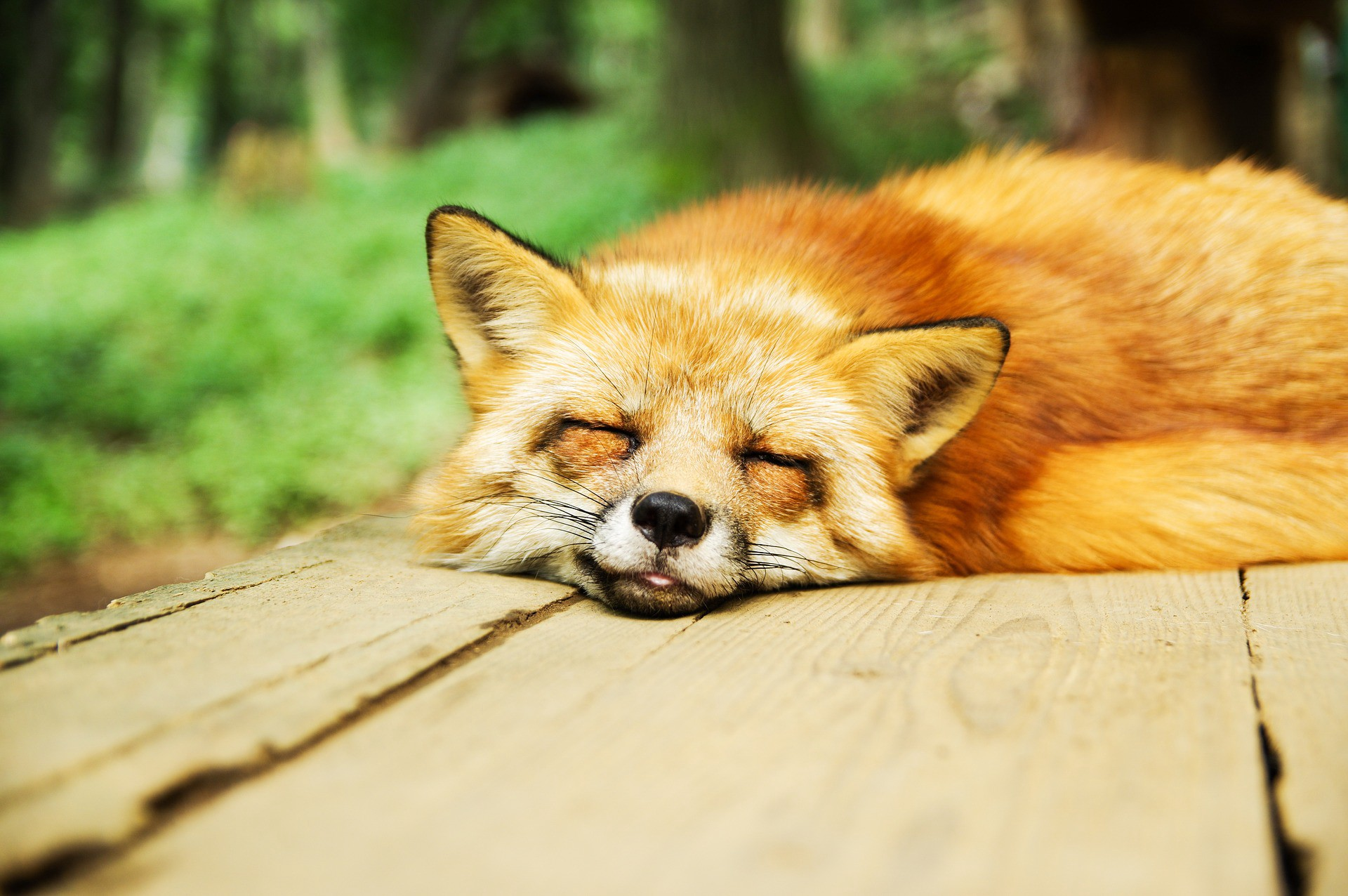 volpe che riposa con la pancia piena