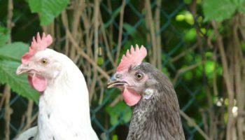 le galline del giardino del b&b casa sul lago casa sul lago appartamenti sul lago di caldonazzo trentino